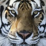 Tending to tiger teeth with Dr Daniel Levinson